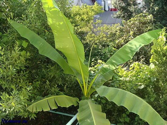Вид из окна 2-го этажа - банановая пальма