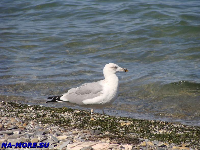 Чайка на пляже Геленджика