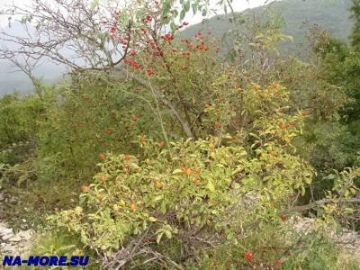 Шиповник в горах Кавказа