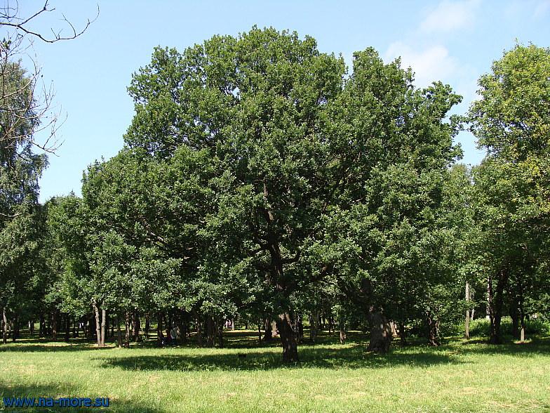 Дуб в парке Дубки в Сестрорецке