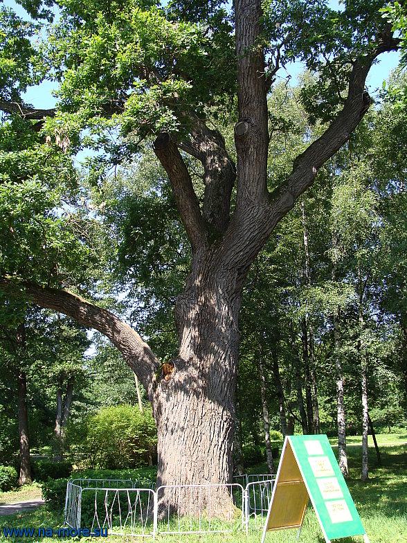 Дуб в парке Дубки Сестрорецка. Лето.