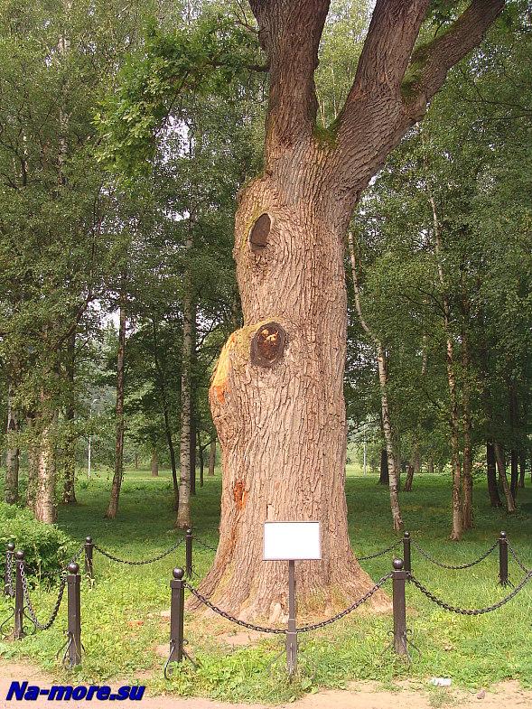 Дуб петровских времён в парке Дубки