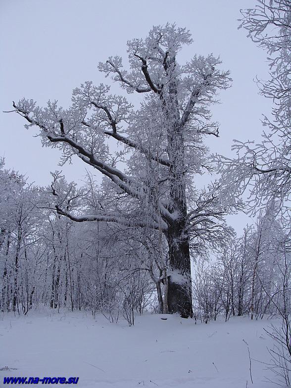 Заснеженный дуб в сестрорецком парке Дубки