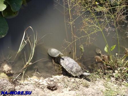 Новороссийск. Парк им.Фрунзе. Черепахи.