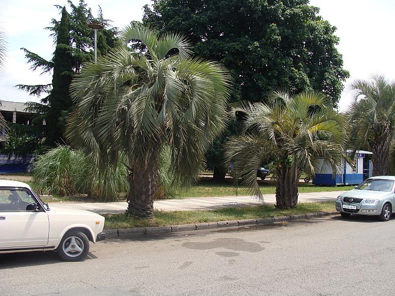 Пальмы в центре Адлера.