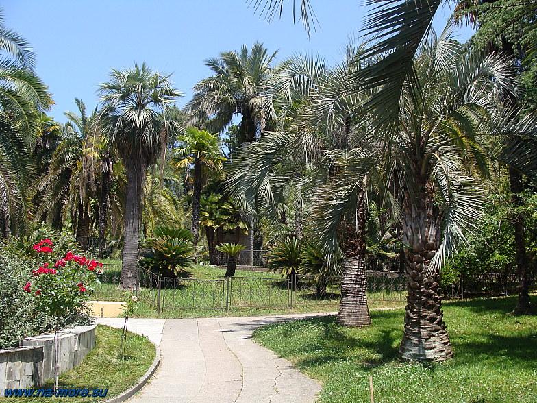 Сочи. Курортный проспект 74. Дендрарий. Пальмы.