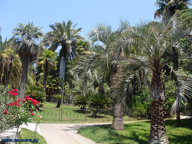 Пальмы в сочинском Дендрарии.