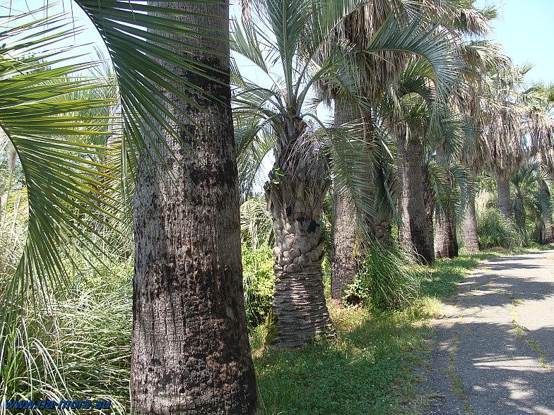 В сочинском Дендрарии. Пальмы.