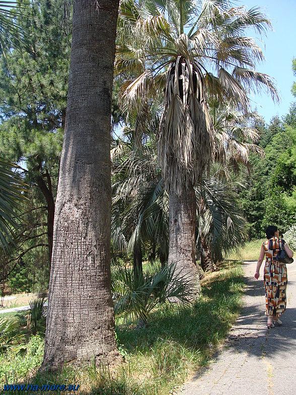 В Дендрарии Сочи. Пальмы.