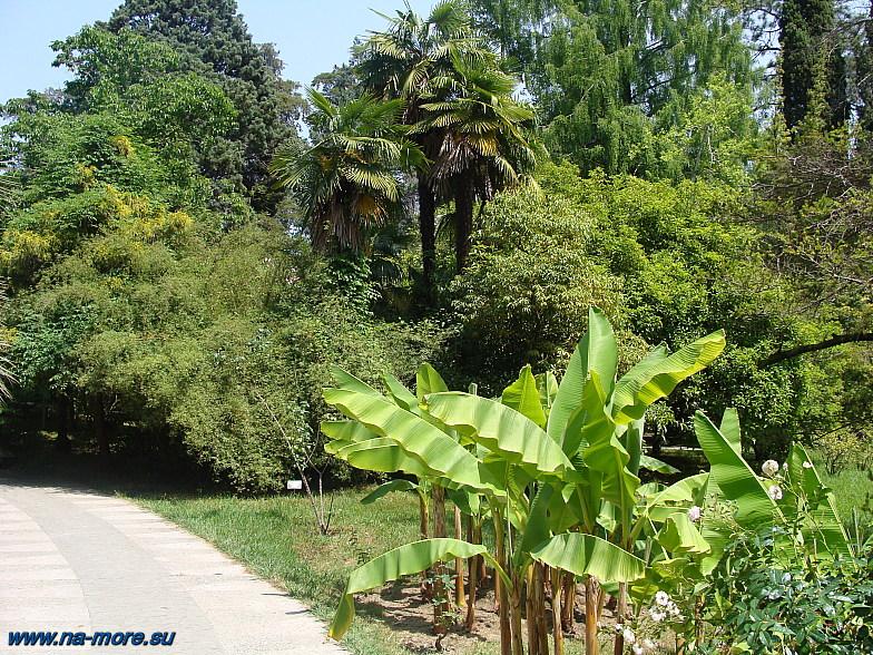 В Дендрарии Сочи. Маленькие банановые пальмы.