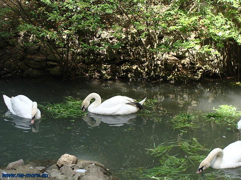Лебеди в нижним парке Дендрария Сочи.
