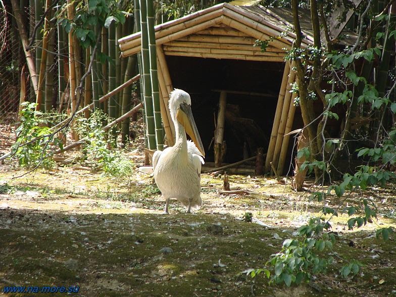 В Дендрарии Сочи. Пеликан в нижнем парке.