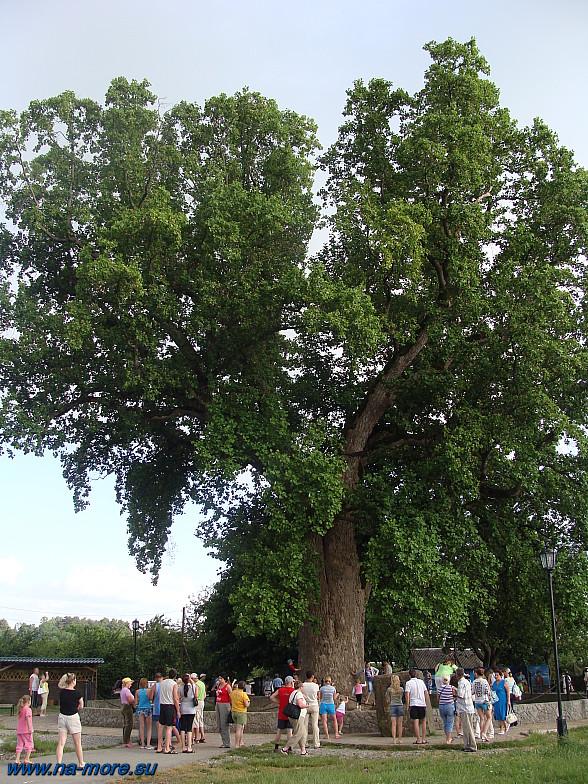 Тюльпановое дерево. Дерево Раевского. Головинка.