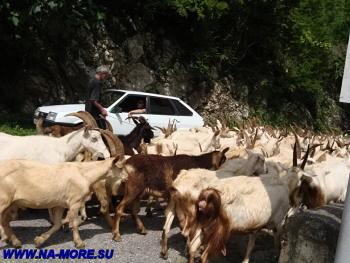 Скот в Бзыбском ущелье на Рицинскм шоссе
