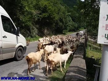 Стадо рогатого скота движется по Рицинскому шоссе к альпийским лугам
