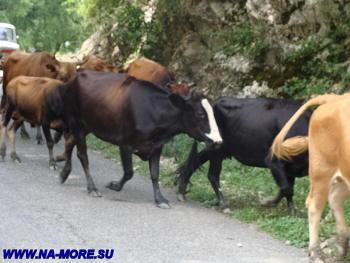 Коровы на Рицинском шоссе