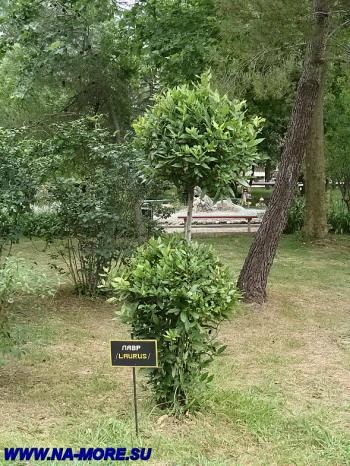 Лавр в парке пансионата Знание