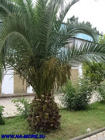 Пальма (Бутия) в парке пансионата Знание