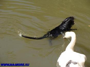 Лебедь и ондатра в дендрарии Сочи