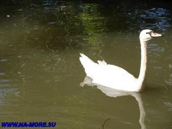 Лебедь в дендрарии Сочи