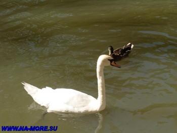 Белый лебедь в дендрарии Сочи