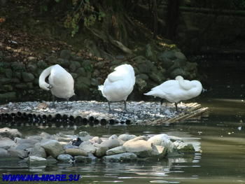 Белые лебеди в дендрарии Сочи