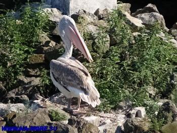 Пеликан  в дендрарии Сочи