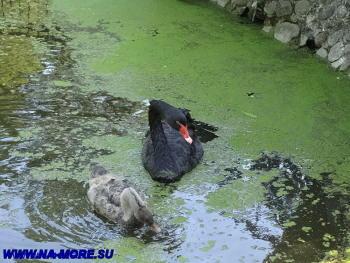 Чёрный лебедь в дендрарии Сочи