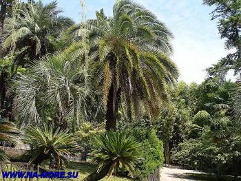 Пальмы в дендрарии Сочи