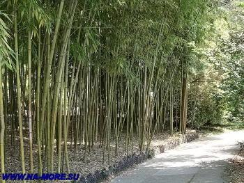 Бамбук в дендрарии Сочи