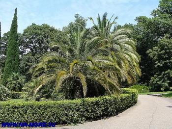 Канарская финиковая пальма в дендрарии Сочи