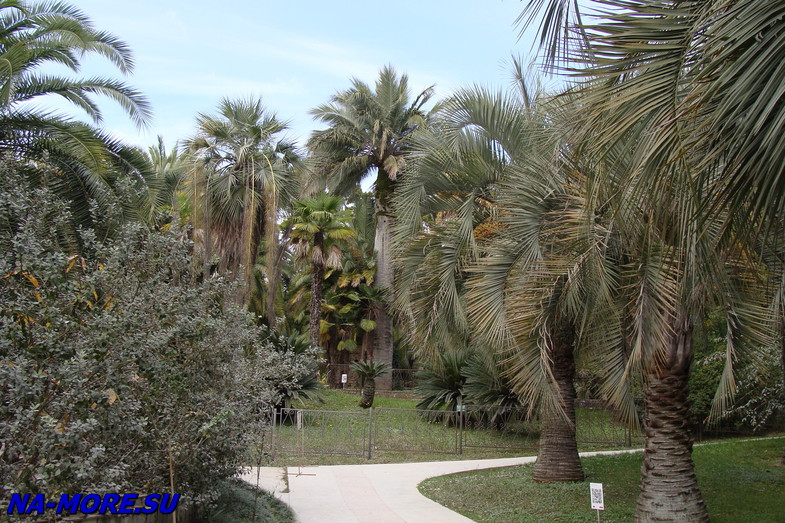 Дендрарий Сочи. Пальмы.