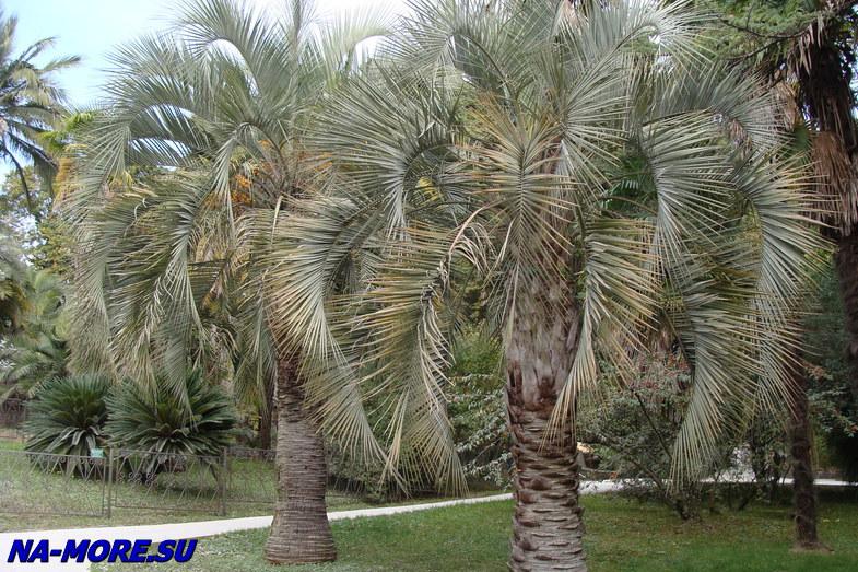пальма бутия фото